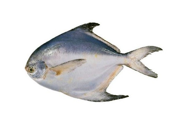 Pomfret Fish (good size)