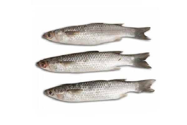 Bhangor Bata Fish - Medium