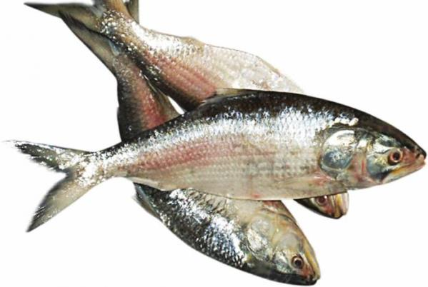 Regular Size Ilish / Hilsa